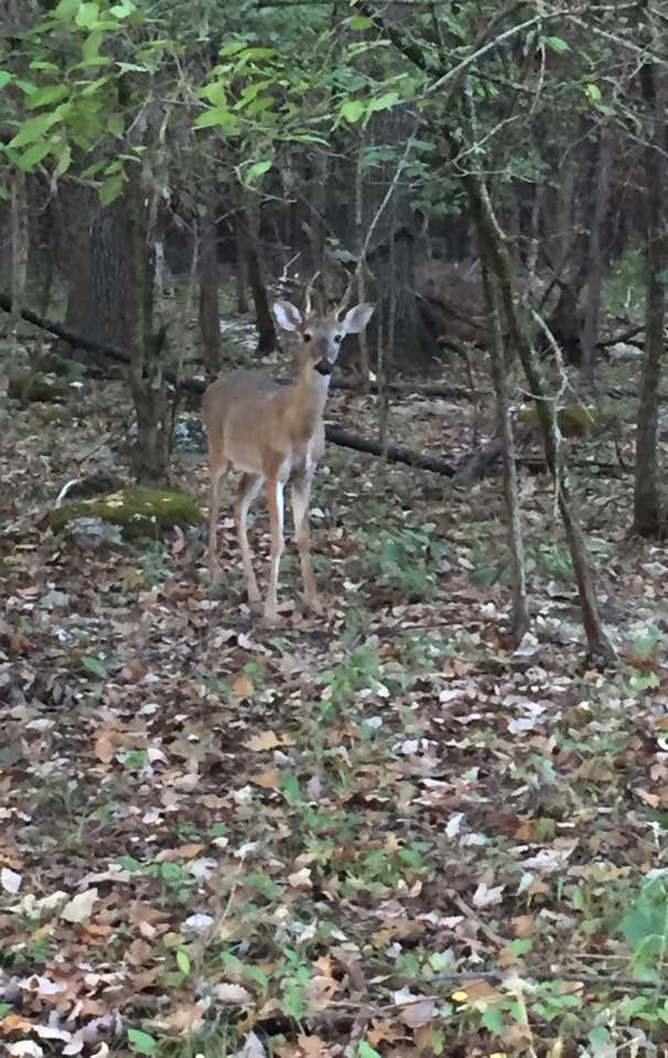 Roaming deer at Stones River Battlefield
