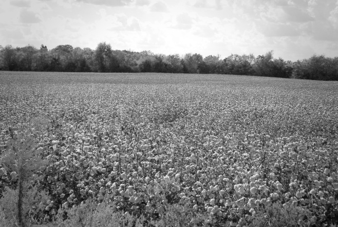 Cotton Field in October