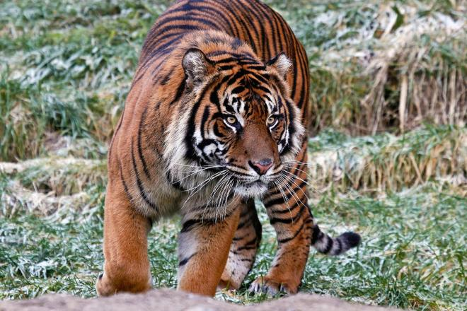 sumatran-tiger-on-the-prowl-athena-mckinzie
